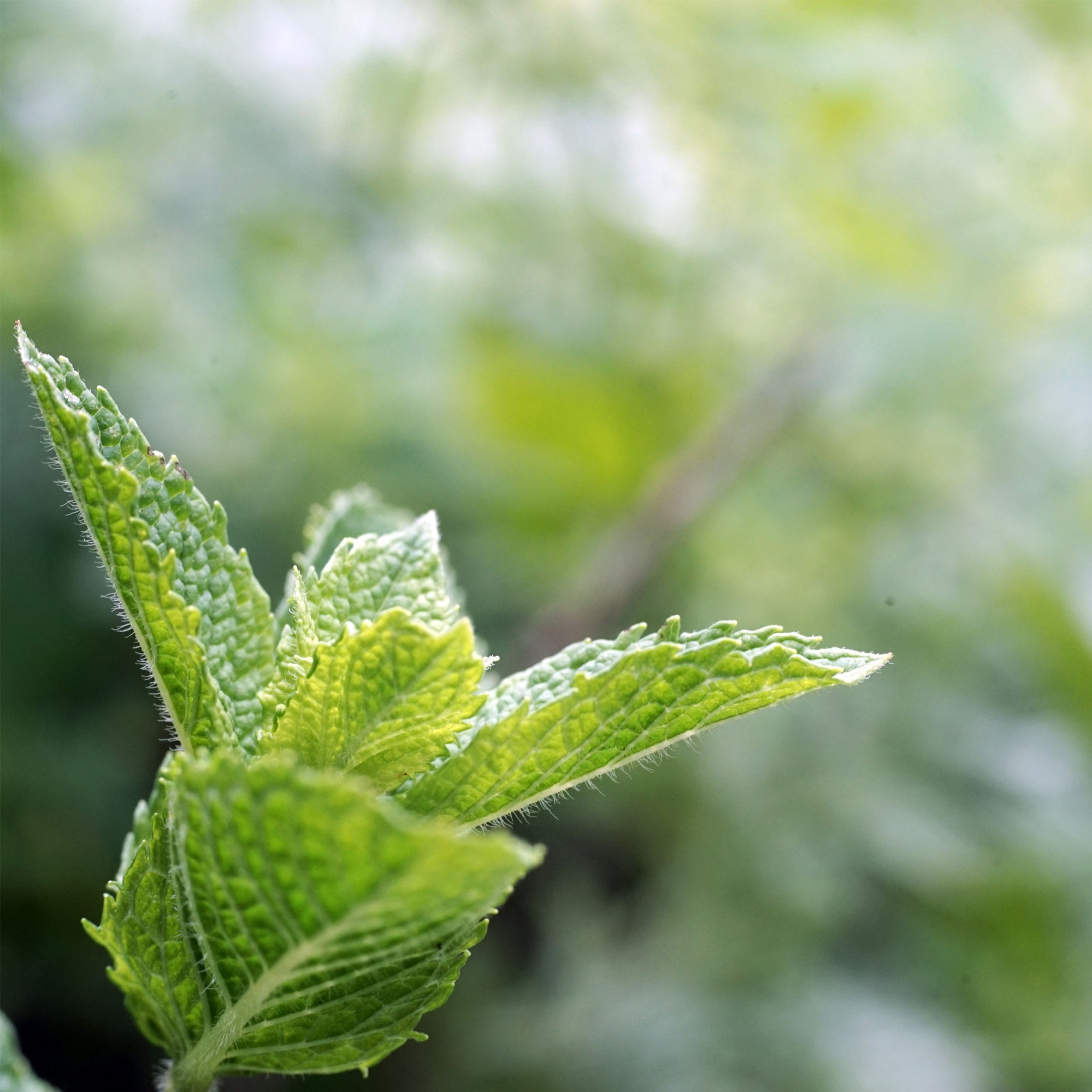 https://pixabay.com/en/peppermint-garden-green-leaves-2326541/