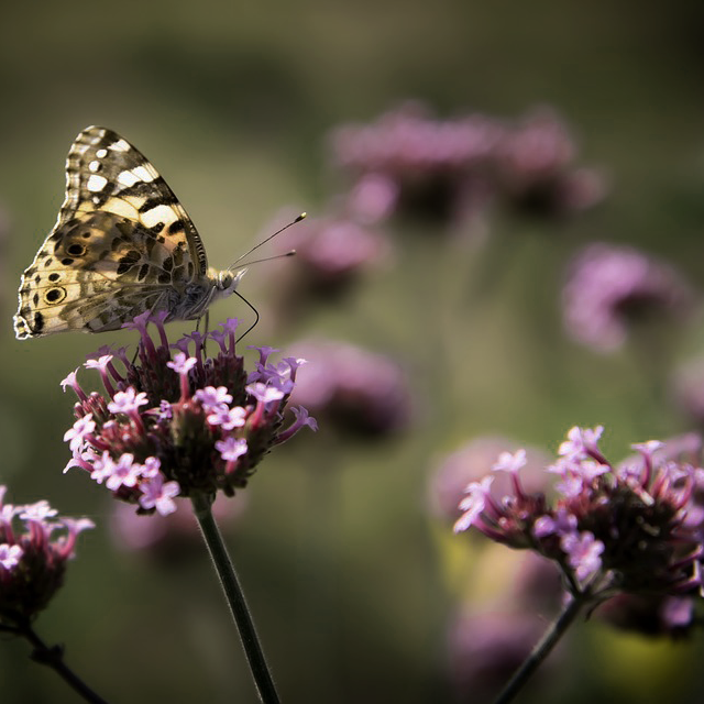 https://pixabay.com/en/insects-flowers-butterfly-nature-2049597/