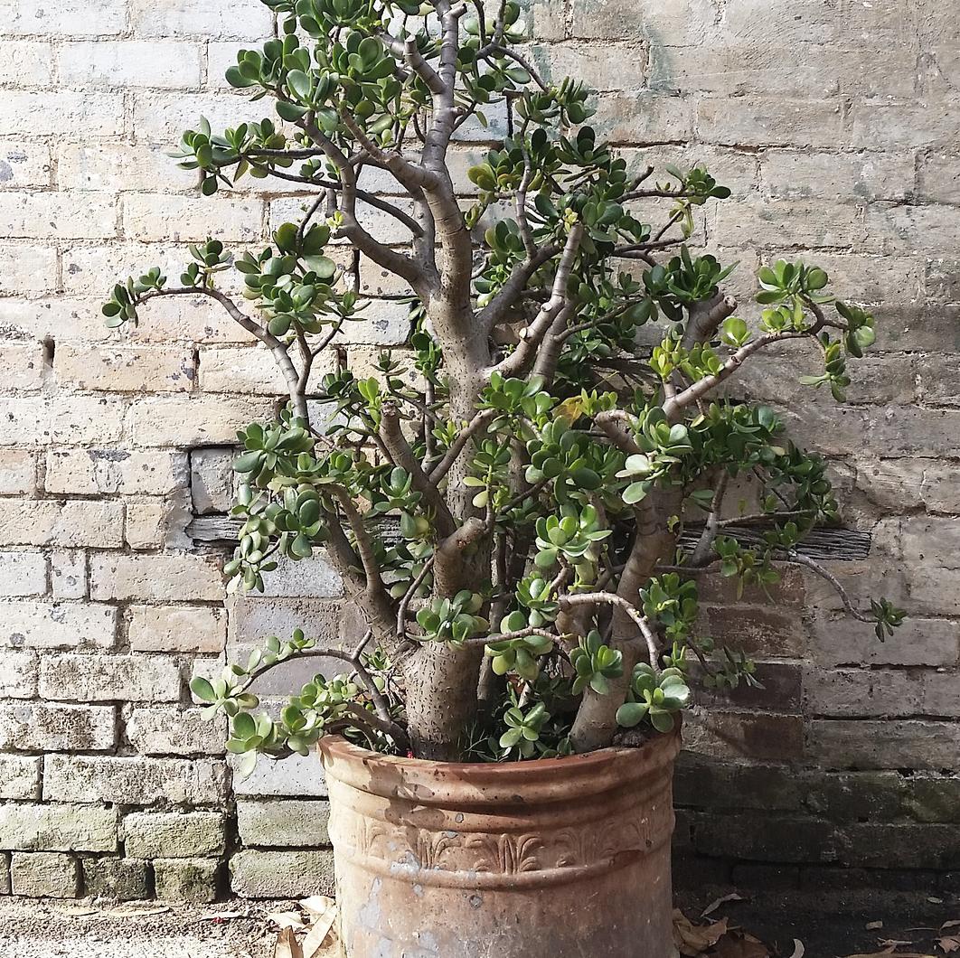 https://pixabay.com/en/crassula-ovata-potted-plant-1455639/